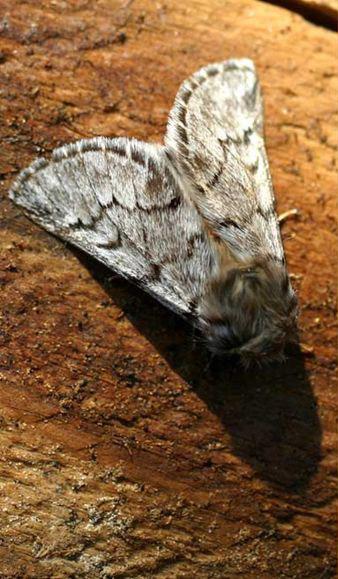 papillon de la chenille processionnaire id es d coration. Black Bedroom Furniture Sets. Home Design Ideas